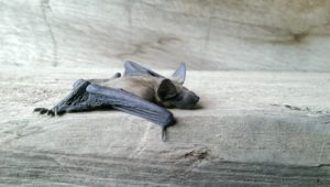 Bat removal in Essex County, NJ
