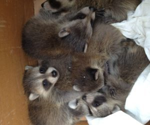 Baby Raccoons in Box