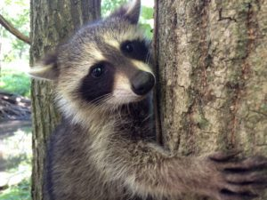 Raccoon removal in Morris, NJ