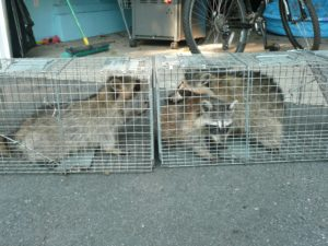 Wildlife trapping in South Orange County, NJ