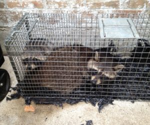 Raccoons in Cage