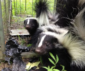 Two Skunks